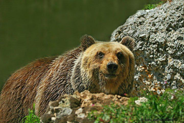 Parco Abruzzo: orso marsicano muore durante cattura per controlli