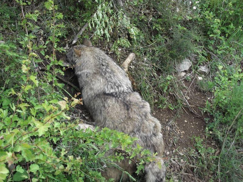 Il lupo ucciso da una trappola (1)