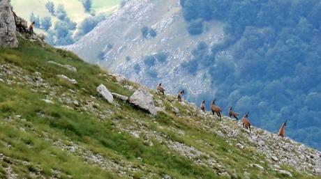 Camosci sul Monte Marsicano, nel Parco nazionale d'Abruzzo