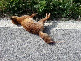 Volpe uccisa e scuoiiata