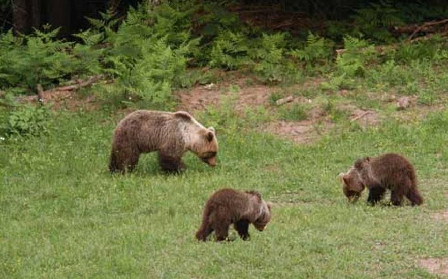 mamma orso marsicano con i cuccioli