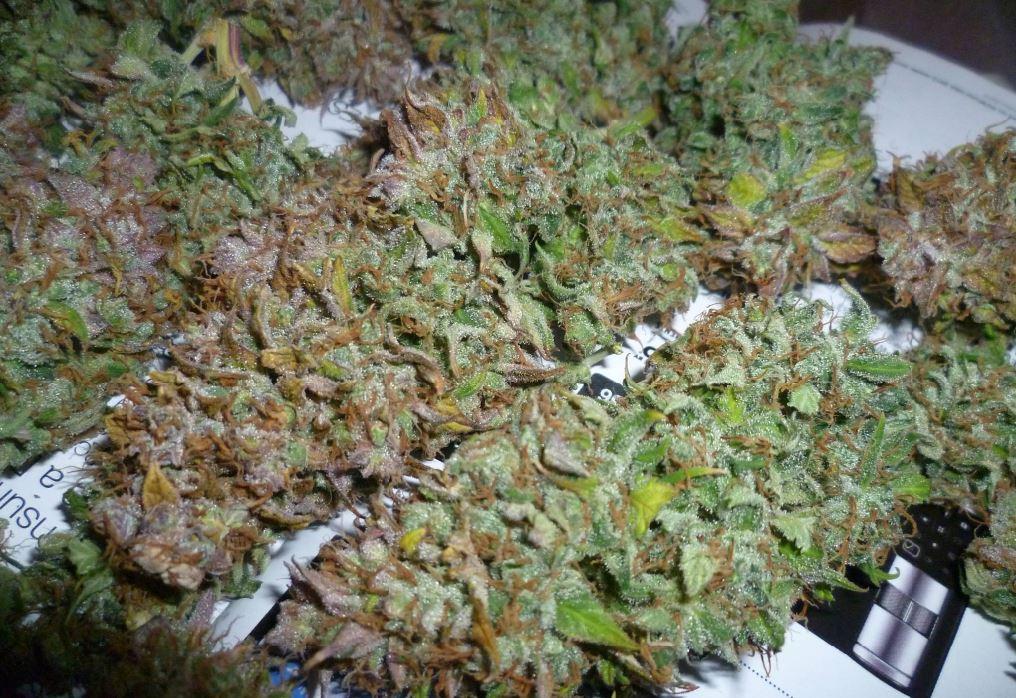 Mega coltivazione con quintali di marijuana nel Fucino: arrestati due marsicani