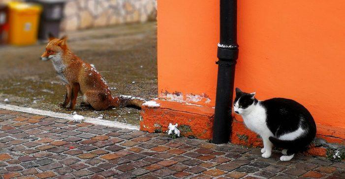 Quanta fretta, ma dove corri? Il gatto e la volpe immortalati in uno scatto ad Albafucens