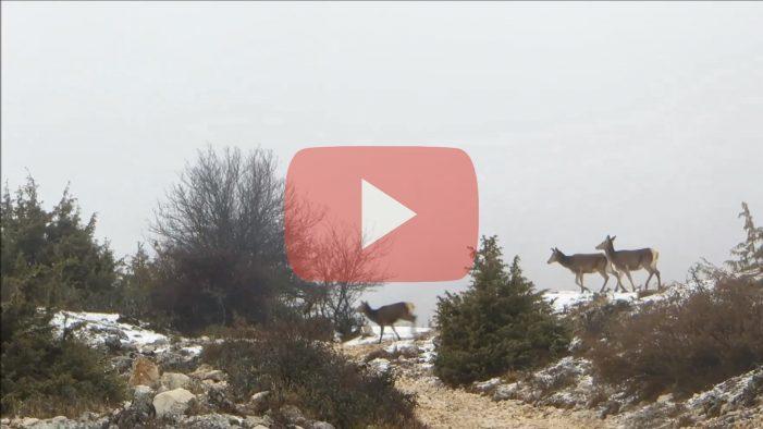 Emozionante incontro con un branco di cervi, alle pendici innevate del monte Velino [video]