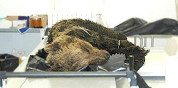 """Orso marsicano morto dopo la cattura non ucciso dal narcotico, l'autopsia: """"aveva problemi respiratori"""""""